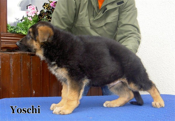 German Shepherd Puppy Imported  www.EliteGermanShepherds.com