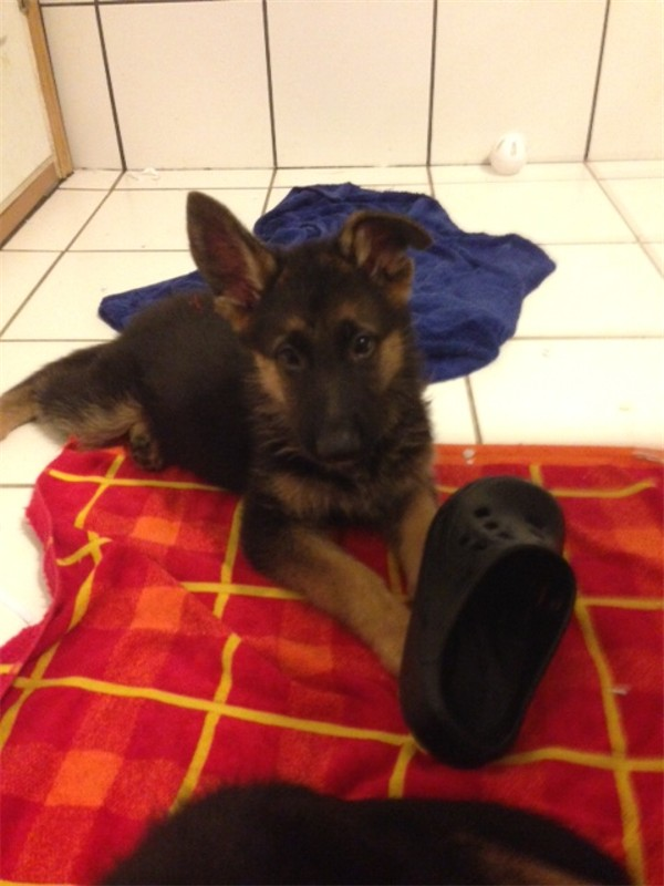 Elite German Shepherds for sale in Dallas, Houston, Austin