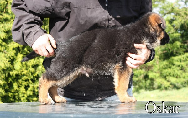 Duncan von Messina Pups Direct from Germany