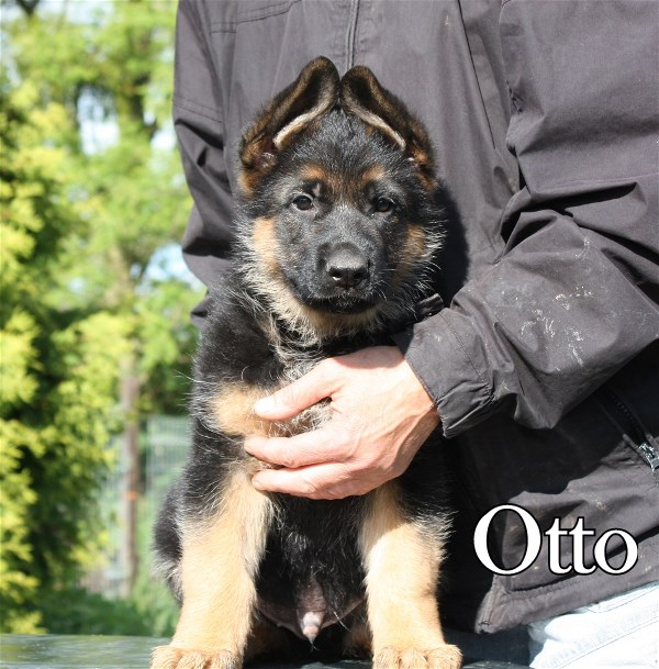 Elite German Shepherd Pups For Sale in Austin Houston DallasTexas