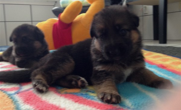 German Shepherd Puppies For Sale in Texas at EliteGermanShepherds.com