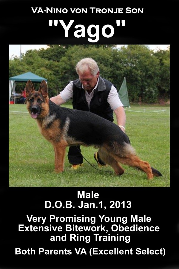 Elite Young Male Imported Show Prospect German Shepherd