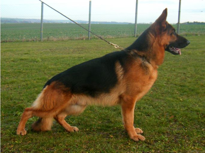 Titled German Shepherd For Sale Imported from Germany Texas Chicago Florida N.Y.