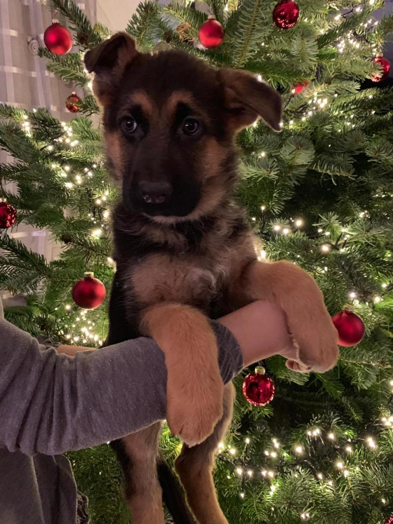VA-Whillo vom Klostermoor German Shepherds Pups From Germany in USA Texas Dallas