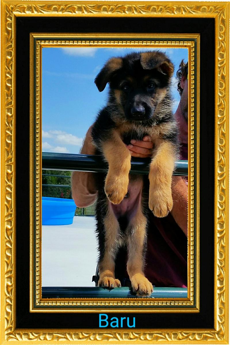 German Shepherd Breeders Illinois Indiana Ohio Virginia Iowa Florida Alabama