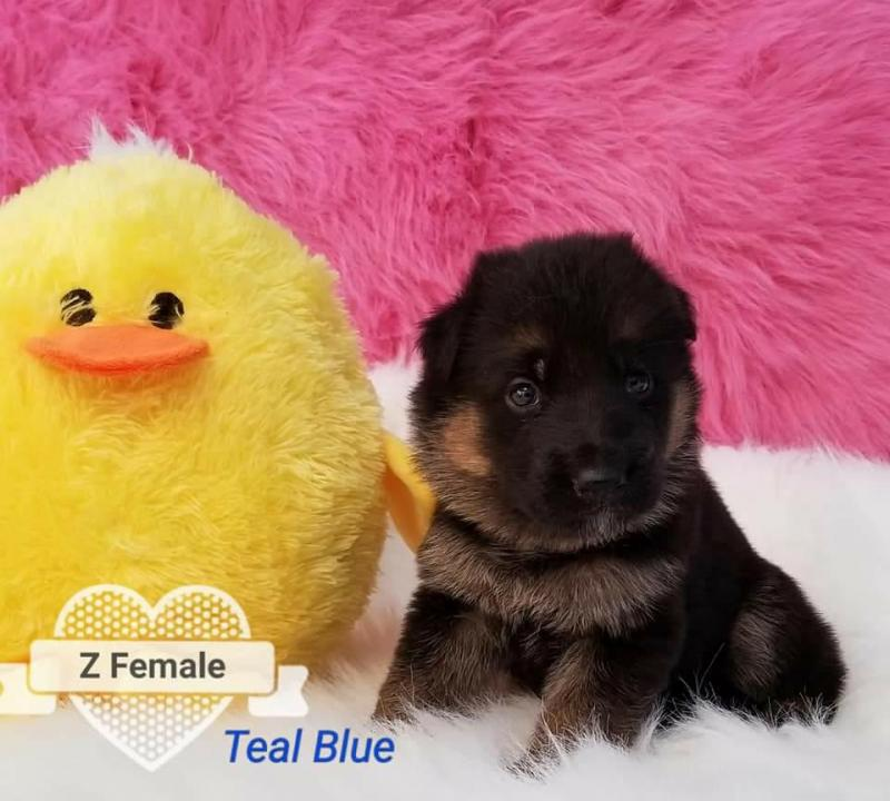 Best German Shepherd Breeders USA Texas Von Fenwald's Elite German Shepherds