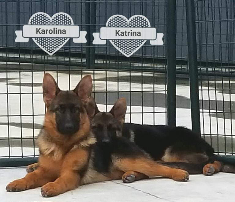 German Shepherds For Sale ND SD NC SC OK IL TX IN RI CO CON PA CA AZ NM LA AL VA