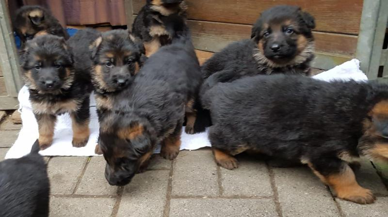 Best German Shepherd Pups from Germany in USA Texas Colorada New York