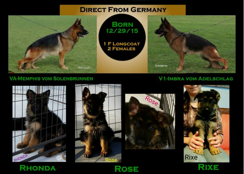 German Shepherd Pups For Sale Imported San Antonio Waco Lubbock Austin Texas