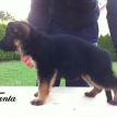 VA Nino von Tronje Imported German Shepherd Pups for Sale in Texas USA