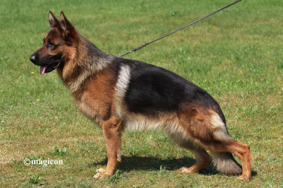 Imported Titled Male German Shepherd for Sale in Texas